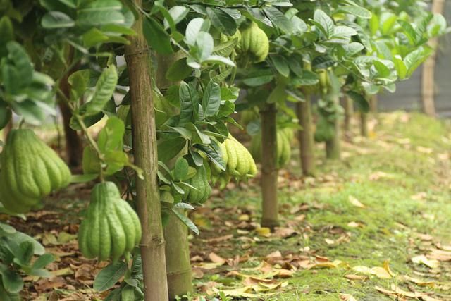 Một cây phật thủ sai quả nhất có khoảng 130 quả.