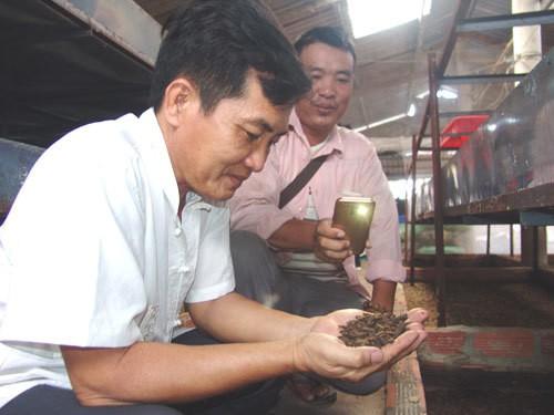 Thầy giáo bỏ nghề về quê... nuôi ruồi lấy trứng, bán 30 triệu đồng/ký