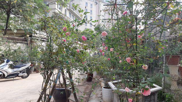 Đại gia chơi Tết: Đào cổ thụ trăm triệu/gốc, hoa hồng ngoại chục triệu đồng/chậu - 3