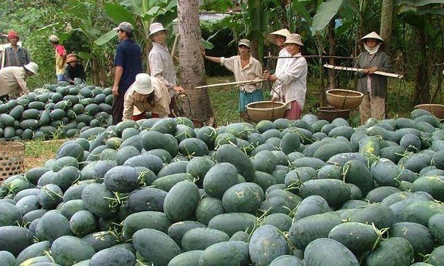 Cảnh báo mới từ Trung Quốc: Tự trồng dưa hấu quy mô lớn - 1