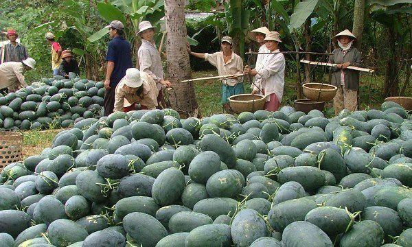Cảnh báo mới từ Trung Quốc: Tự trồng dưa hấu quy mô lớn