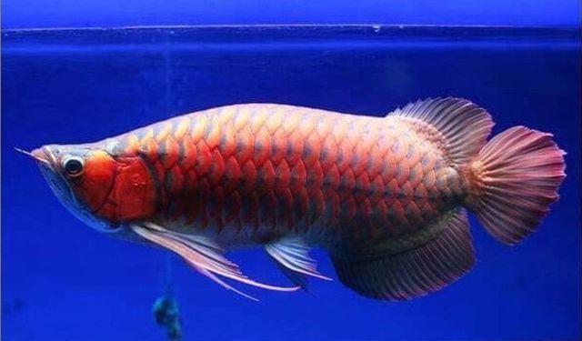 """""""Soi"""" những con cá đắt nhất thế giới, cá ngừ đứng đầu giá 71 tỷ/ con - 1"""