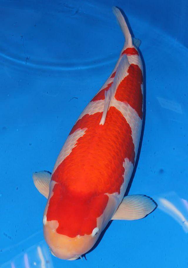 """""""Soi"""" những con cá đắt nhất thế giới, cá ngừ đứng đầu giá 71 tỷ/ con - 3"""
