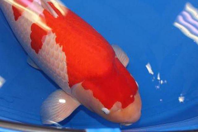"""""""Soi"""" những con cá đắt nhất thế giới, cá ngừ đứng đầu giá 71 tỷ/ con - 4"""