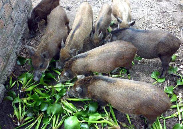 Quy định lạ đời mới ra: Bèo tây, rau chuối… không được cho lợn ăn - 2..jpg