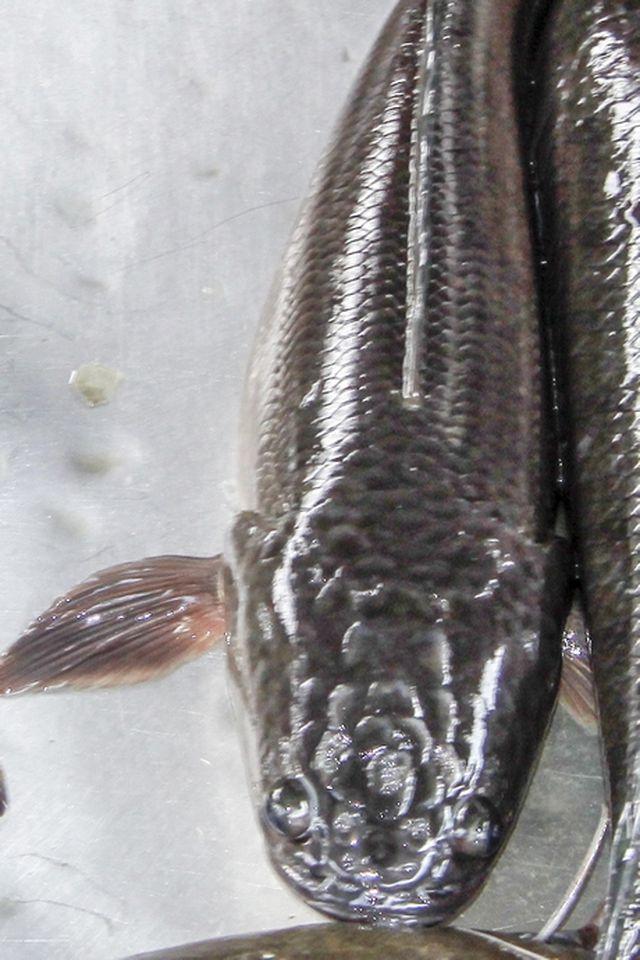 Chuyện lạ Vĩnh Long: Cá lóc trổ bông - 1