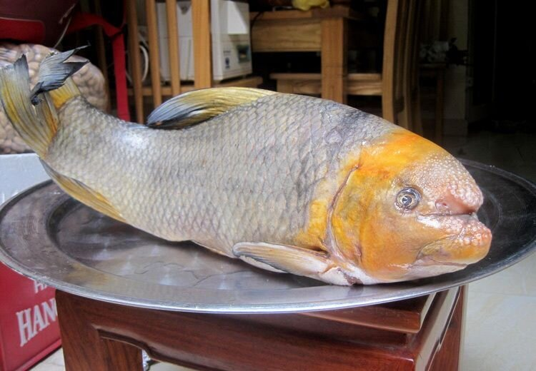 """5 loài cá cực hiếm được ví là """"ngũ quý hà thủy"""", có tiền cũng khó mua"""
