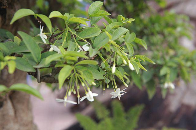 Cho mai chiếu thủy nở hoa trắng tinh trên khúc gỗ đen sì, chủ nhân ra giá tiền tỷ - 11