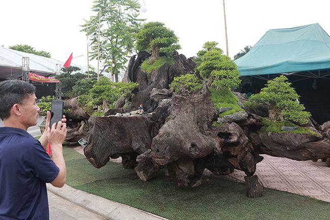 Cho mai chiếu thủy nở hoa trắng tinh trên khúc gỗ đen sì, chủ nhân ra giá tiền tỷ