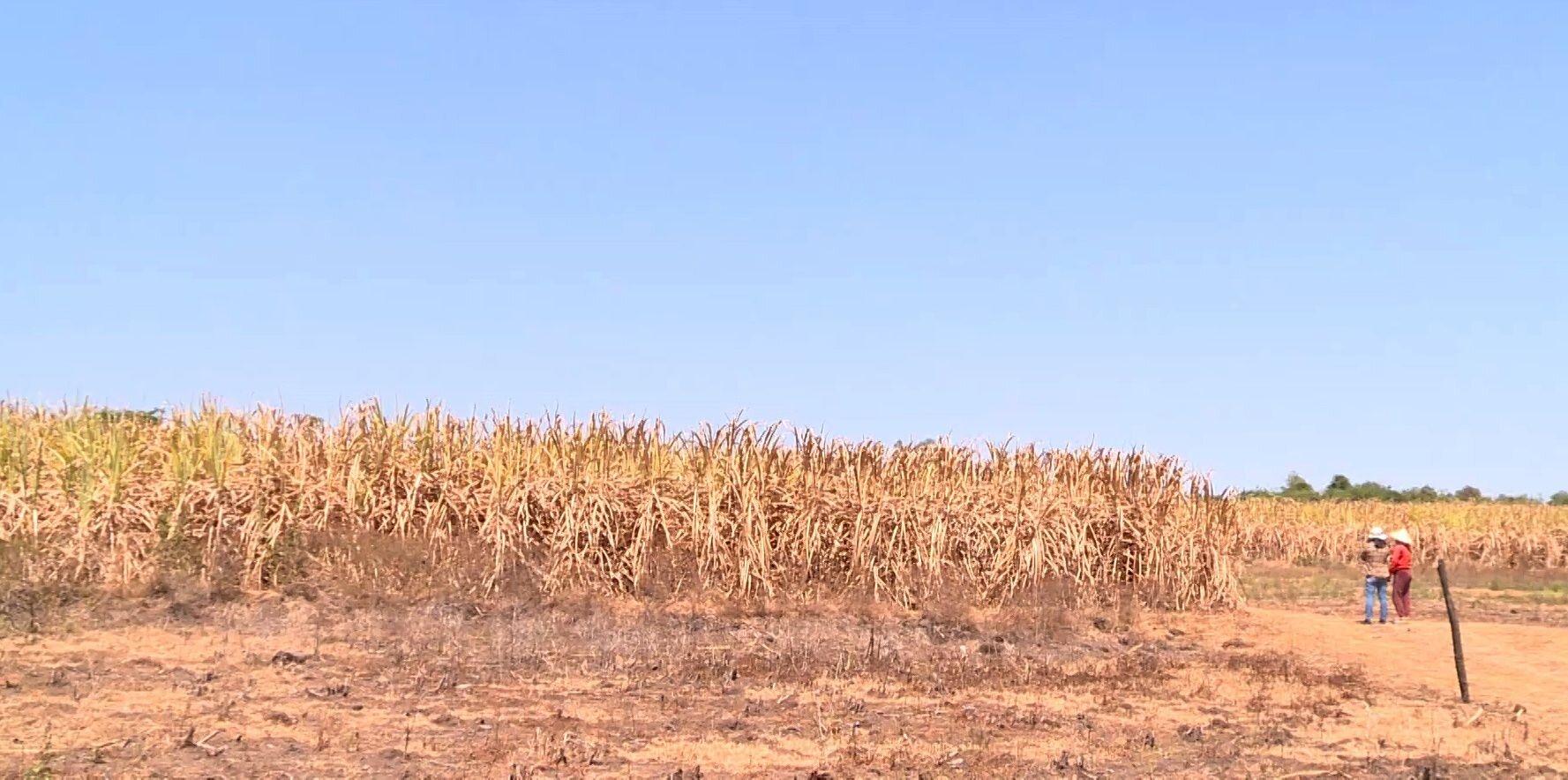 Phú Yên: Nông dân điêu đứng vì mía chết khô ngoài ruộng