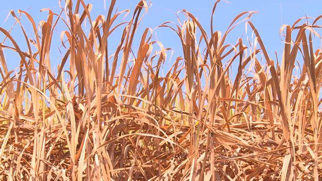 Phú Yên: Nông dân điêu đứng vì mía chết khô ngoài ruộng - 4