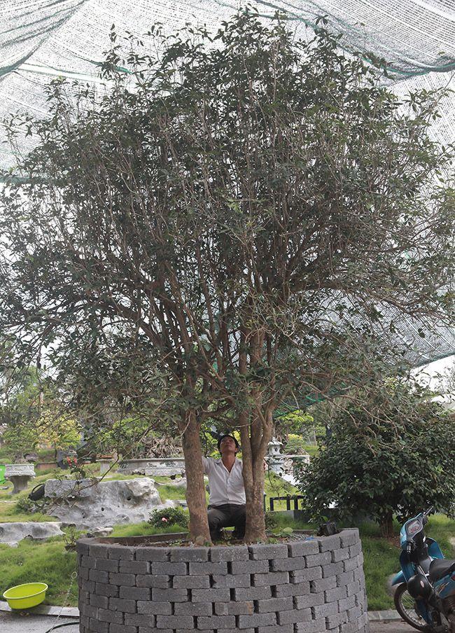 Chiêm ngưỡng 2 cây mộc hương