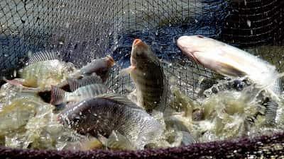 Một công ty Trung Quốc phải ngừng sản xuất cá rô phi vì