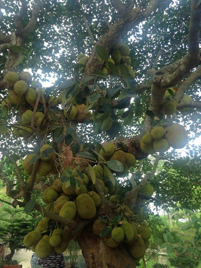 Cây mít gần trăm tuổi cho hơn trăm quả, có 1 không 2 đất Hà Nội - 4