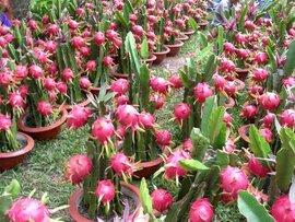 Trung Quốc tăng nhập chính ngạch, người trồng thanh long Bình Thuận thu lãi 200 triệu đồng/ha
