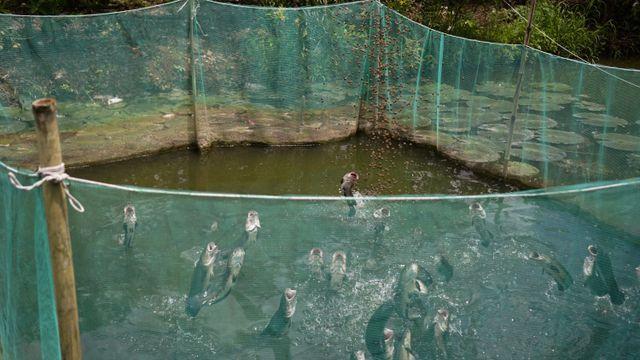 """Đàn cá lóc biết """"nhảy múa"""" trên mặt nước ở Cần Thơ, thu về 70 triệu mỗi tháng - 3"""