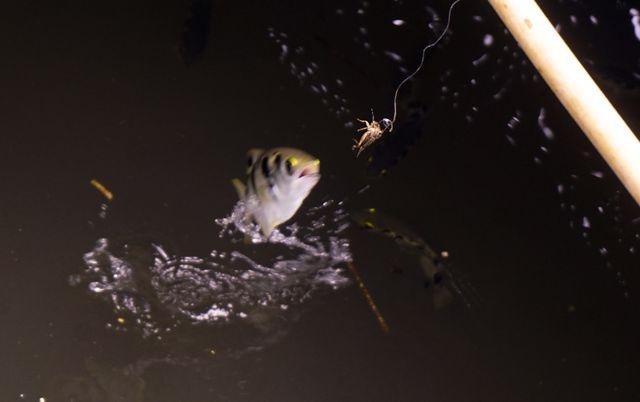 """Đàn cá lóc biết """"nhảy múa"""" trên mặt nước ở Cần Thơ, thu về 70 triệu mỗi tháng - 9"""