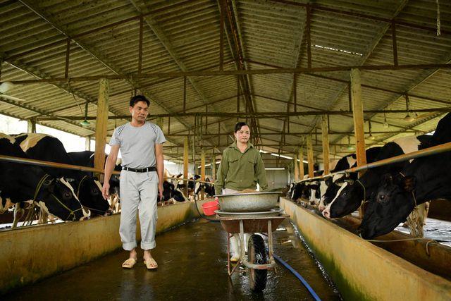 Nông dân Vĩnh Phúc vắt sữa bò kiếm tiền tỷ mỗi năm  - 1
