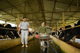 Nông dân Vĩnh Phúc vắt sữa bò kiếm tiền tỷ mỗi năm