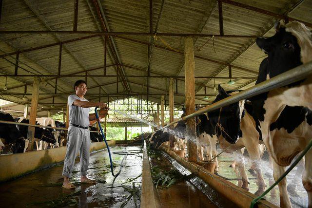 Nông dân Vĩnh Phúc vắt sữa bò kiếm tiền tỷ mỗi năm  - 4
