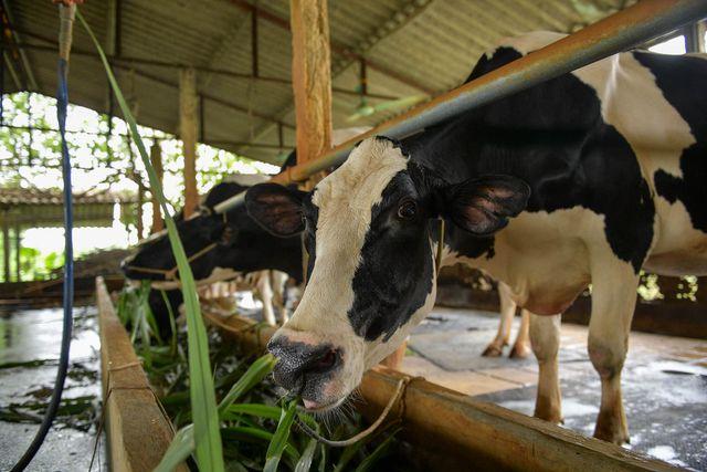 Nông dân Vĩnh Phúc vắt sữa bò kiếm tiền tỷ mỗi năm  - 8