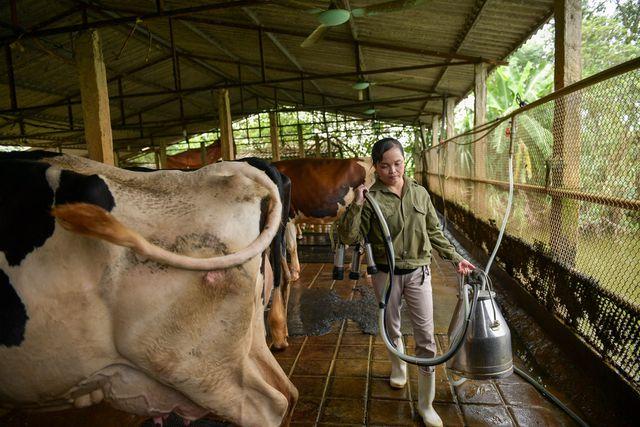 Nông dân Vĩnh Phúc vắt sữa bò kiếm tiền tỷ mỗi năm  - 9