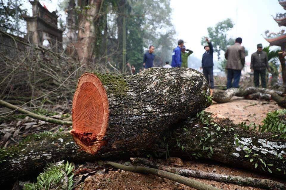 Hà Nội: Số phận lô gỗ sưa trăm tỷ thôn Phụ Chính sắp được định đoạt