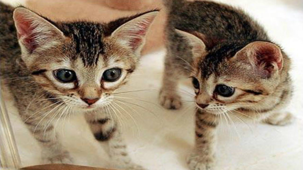 Hơn 800 triệu đồng cho một con mèo nhân bản tại Trung Quốc