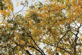 Hàng cây sưa quý ở Hà Nội bất ngờ rụng lá sau khi từ chối bán