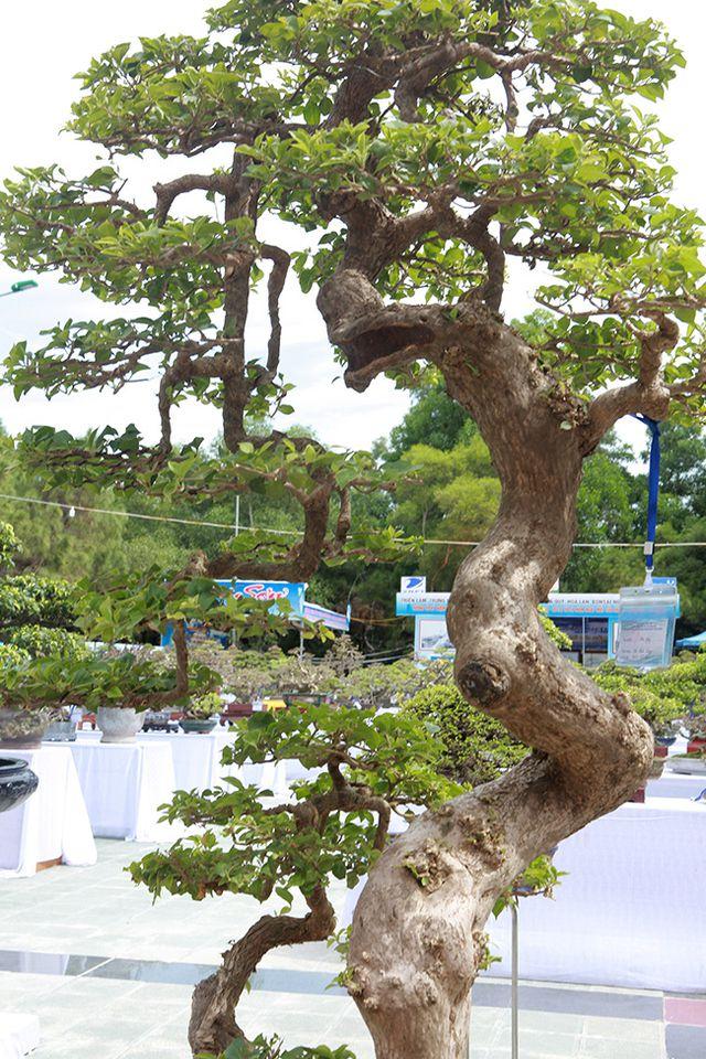 Ngắm cây hoa giấy bonsai được tạo tác như thác đổ - 2