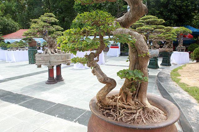 Ngắm cây hoa giấy bonsai được tạo tác như thác đổ - 12