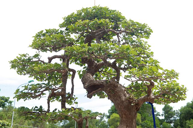 Ngắm cây hoa giấy bonsai được tạo tác như thác đổ - 13