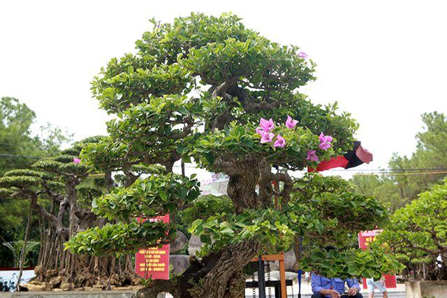 Ngắm cây hoa giấy bonsai được tạo tác như thác đổ - 14