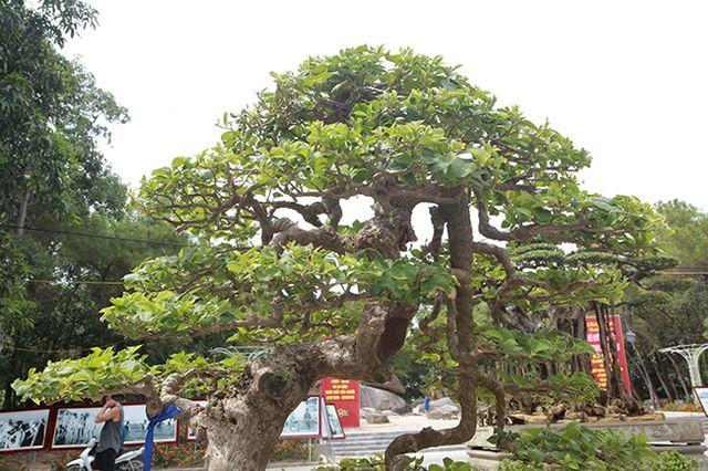 Ngắm cây hoa giấy bonsai được tạo tác như thác đổ - 3