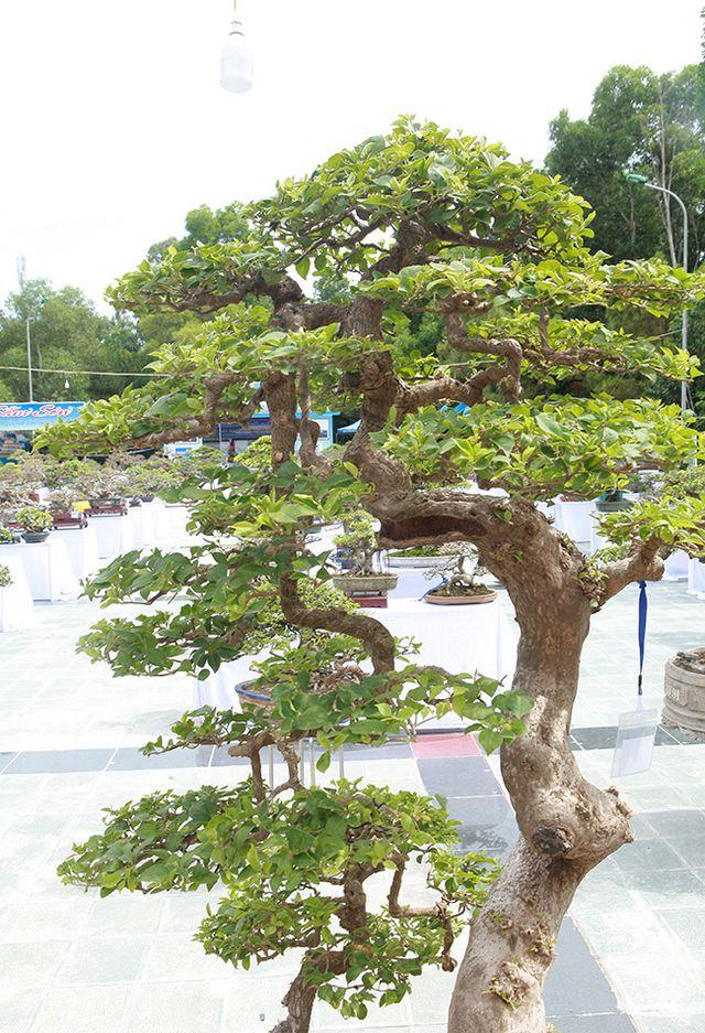 Ngắm cây hoa giấy bonsai được tạo tác như thác đổ - 6