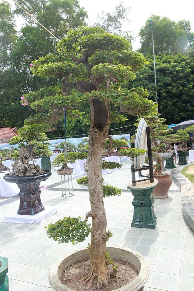 Ngắm cây hoa giấy bonsai được tạo tác như thác đổ - 10
