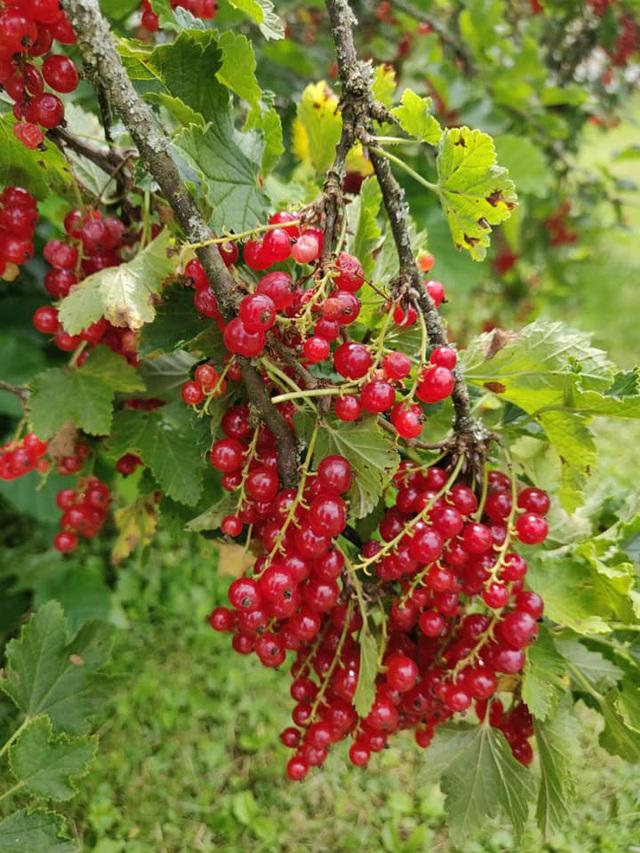 Nho chuỗi ngọc 2 triệu đồng/kg: Cây bụi mọc đầy rừng, ăn chua loét - 1