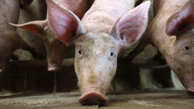 """VNDirect: Dịch tả lợn mang cơ hội cho những """"ông lớn"""""""