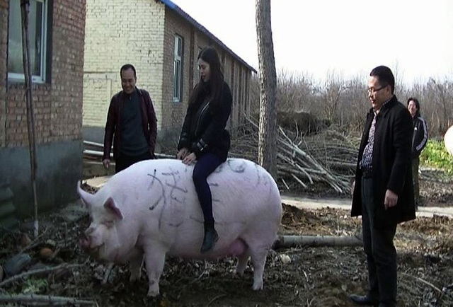 """Khan hiếm thịt, Trung Quốc quyết nhân giống lợn """"siêu to khổng lồ"""" - 1"""