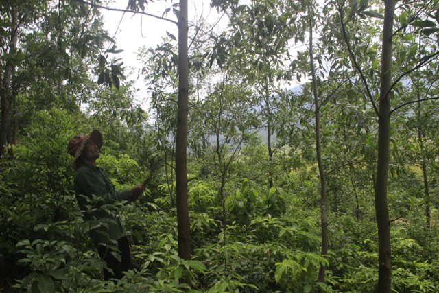 Vợ chồng trẻ Vân Kiều kiếm gần 150 triệu đồng/năm từ trồng rừng, nuôi dê - 5