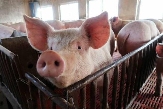 Nghỉ việc về quê nuôi 22 con lợn, nay thành đại gia khiến cả nước bất ngờ - 6