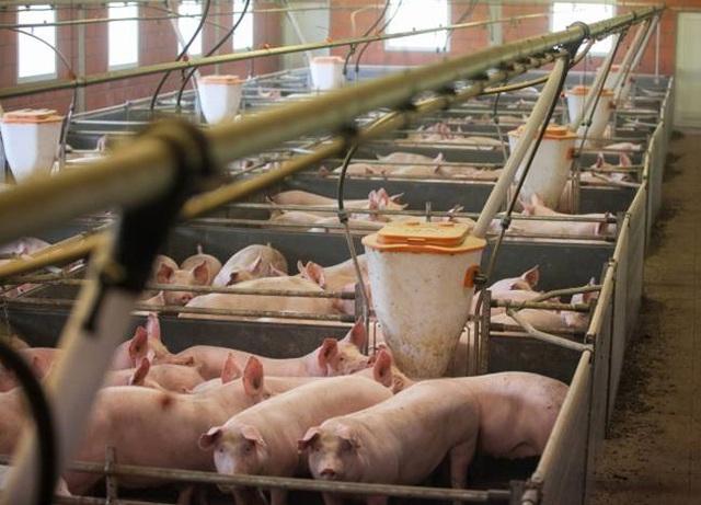 Nghỉ việc về quê nuôi 22 con lợn, nay thành đại gia khiến cả nước bất ngờ - 7