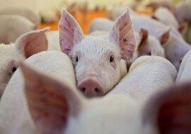 """Cùng với Trung Quốc, giá thịt lợn ở Việt Nam sẽ còn """"sốt"""" đến hết năm"""