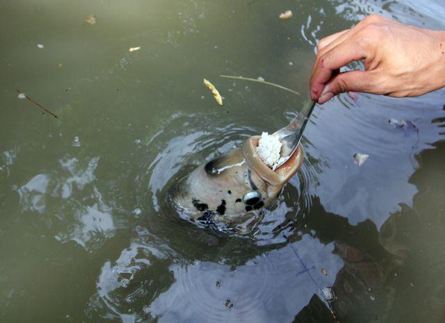 Quá độc, lạ Cần Thơ: Đút từng thìa cơm cho cá ăn như đút cho em bé - 3