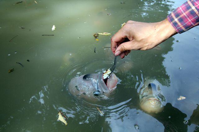 Quá độc, lạ Cần Thơ: Đút từng thìa cơm cho cá ăn như đút cho em bé - 7