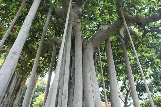 """Chiêm ngưỡng """"chùa Đồng"""" dưới bóng cây sanh tiền tỷ - 7"""