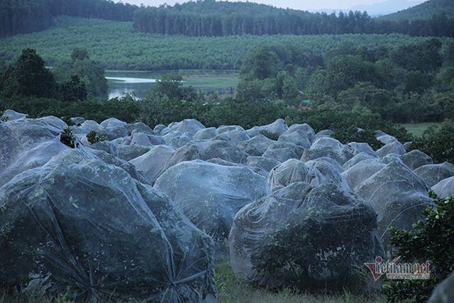 Đồi cam 6 tỷ đồng kỳ lạ nhất Việt Nam, 2.000 cây mắc màn trắng cả rừng - 2