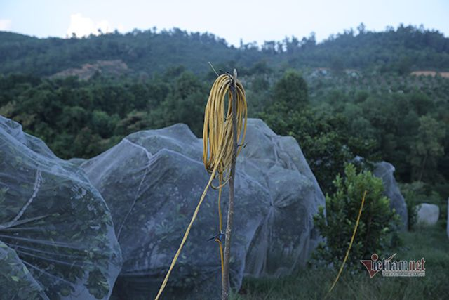 Đồi cam 6 tỷ đồng kỳ lạ nhất Việt Nam, 2.000 cây mắc màn trắng cả rừng - 10