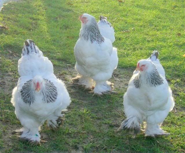 Giống gà có cái tên quý tộc, có thể to bằng đứa trẻ, giá lên tới 5 triệu đồng/con - 1