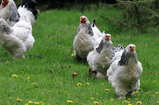 Giống gà có cái tên quý tộc, có thể to bằng đứa trẻ, giá lên tới 5 triệu đồng/con - 3